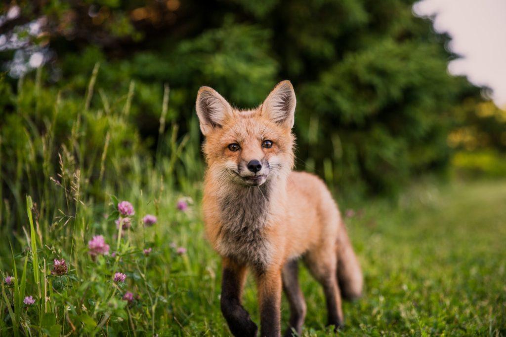 Renard roux par Scott Walsh via unsplash.com