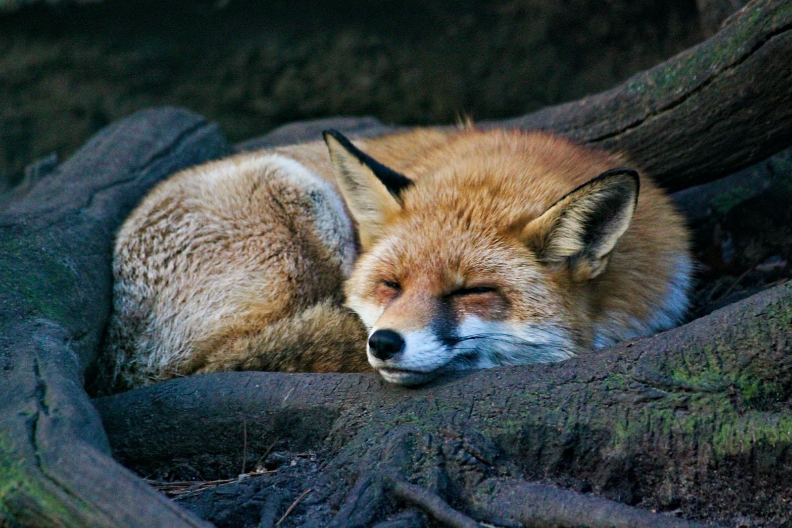 Découvrir et observer le renard roux